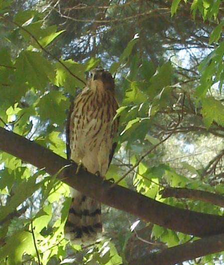 Raptor Spotted in Marathon Park