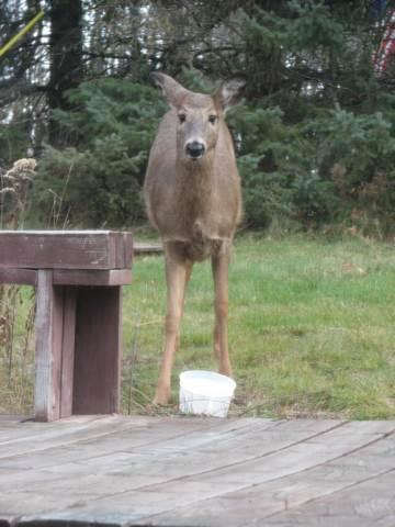 Yes, Deer!